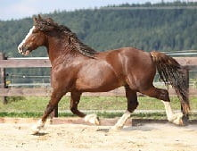 A Stallion is a non-gelded (non-castrated) male horse
